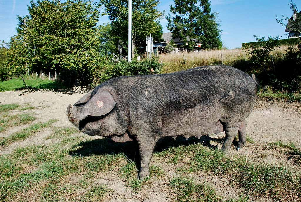 Le Porc Noir Gascon - Photo de Darreenvt sous licence CC-BY-SA