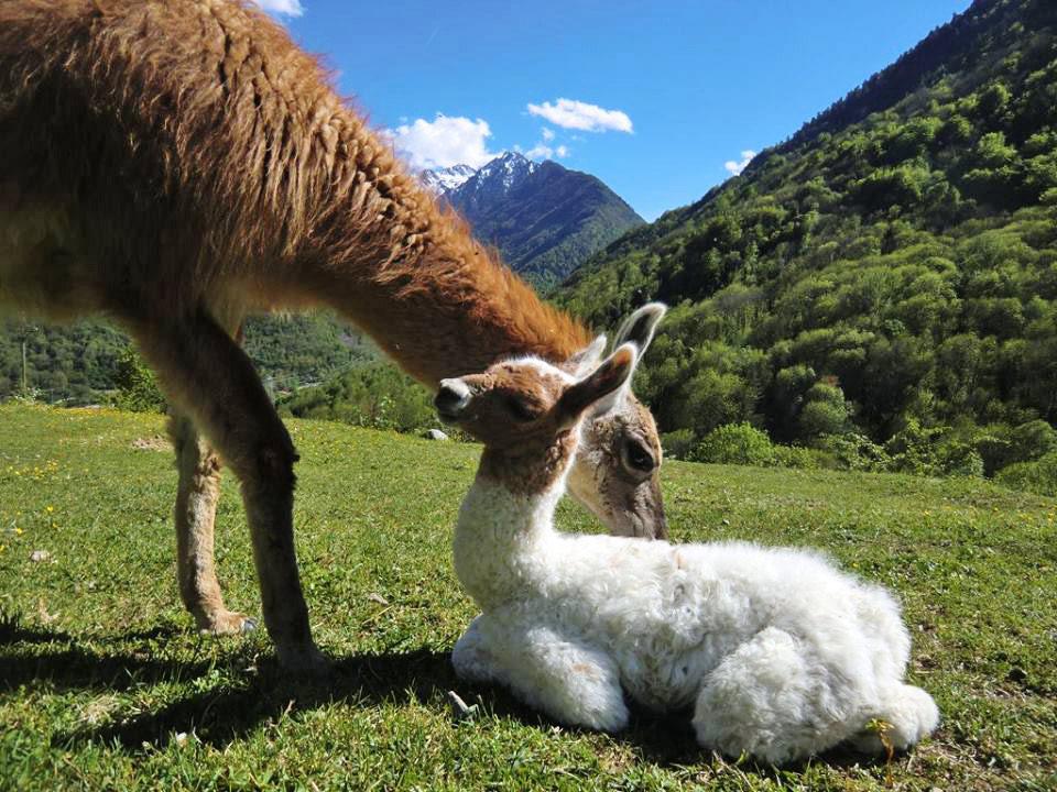 La Ferme des Lamas à Vicdessos